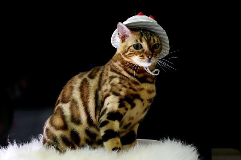 cat-4111684_1280