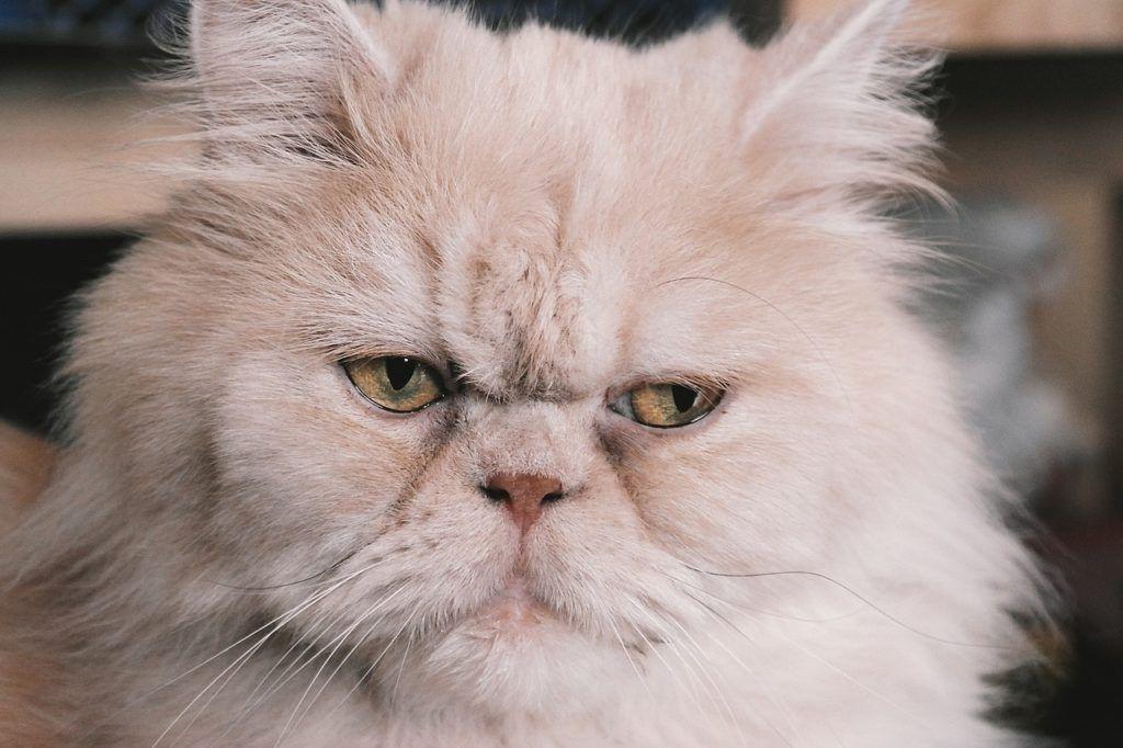 persian-cat-2461526_1280